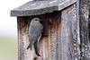 Mountain Bluebird - Female- Montana-8458