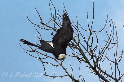 Bald Eagle-4544