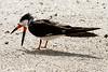 Black Skimmer ( Rynchops niger ) (1 of 1)