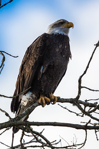 Bald Eagle - 3rd Year-  3165-19