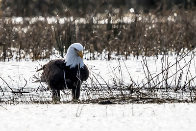 Bald Eagle - Adult  1703-11