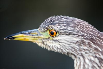 Green Heron  - Juvenile2955-1