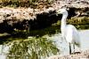 Sonny Bono National Wildlife Refuge - Snowy Egret-