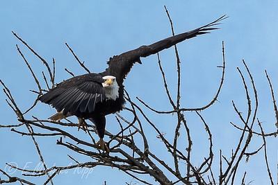 Bald Eagle 4542-2
