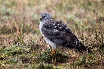 Northern Harrier - Male - The Gray Ghost 2664-1