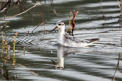 Red Phalarope -  Adult nonbreeding (1 of 1)-2