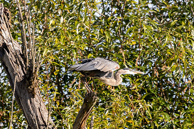 Great Blue Heron K5D49458