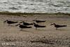 Black Skimmer ( Rynchops niger )  (1 of 1)-3
