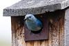 Mountain Bluebird - Montana-8444
