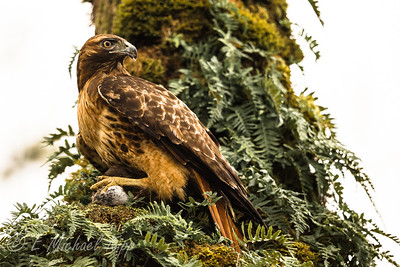 Red-winged Hawk  4298