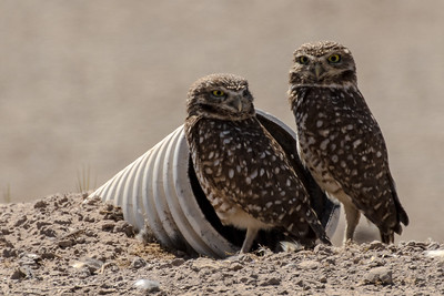 Burrowing Owls - Salton Sea