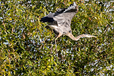 Great Blue Heron K5D49461