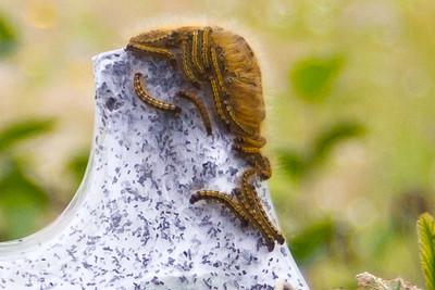 Western Tent Caterpillar (Malacosoma californicum pluviale Dyar)-9533