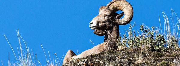 Big Horn Ram - Montana-0009