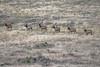 Rocky Mountain Elk - Montana-0001