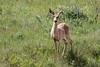 White-tailed Deer - Montana-8024