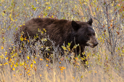 Montana - American Black Bear (1 of 1)-1