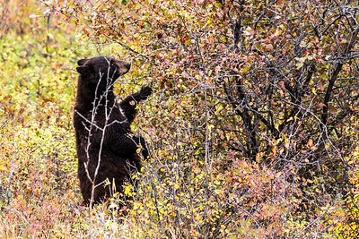 Montana - American Black Bear - Mature with two cubs (1 of 4)-7