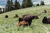 Bison and calfs - Montana-7949