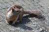 California Ground Squirrel - Piedras Blancas, California-6238