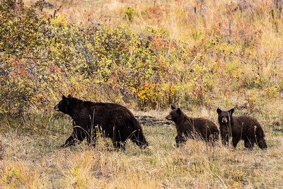 Montana - American Black Bear - Mother with two cubs (1 of 1)-14