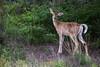 White-tailed Deer - Montana-8535