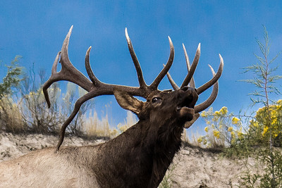 Montana - Rocky Mountain Elk - Bull Elk Bugleing (1 of 1)-2