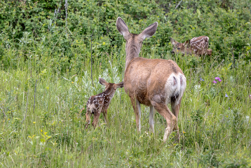 Mule Deer and fawns - Montana-9140