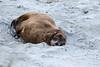 New Zealand - South Island - Otago -  Hooker Sea Lion - Female?