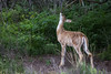 White-tailed Deer - Montana-8543