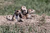 Black-tailed Prairie Dogs - Theodore Roosevelt National Park - ND-8839