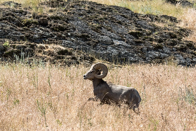 BIG HORN RAM RUNNING    BISON WILDLIFE REFUGE    MONTANA
