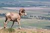 Big Horn Ram - Montana-4607