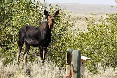 MOOSE   JUVENILE     SEEDSKADEE WILDLIFE REFUGE   WYOMING