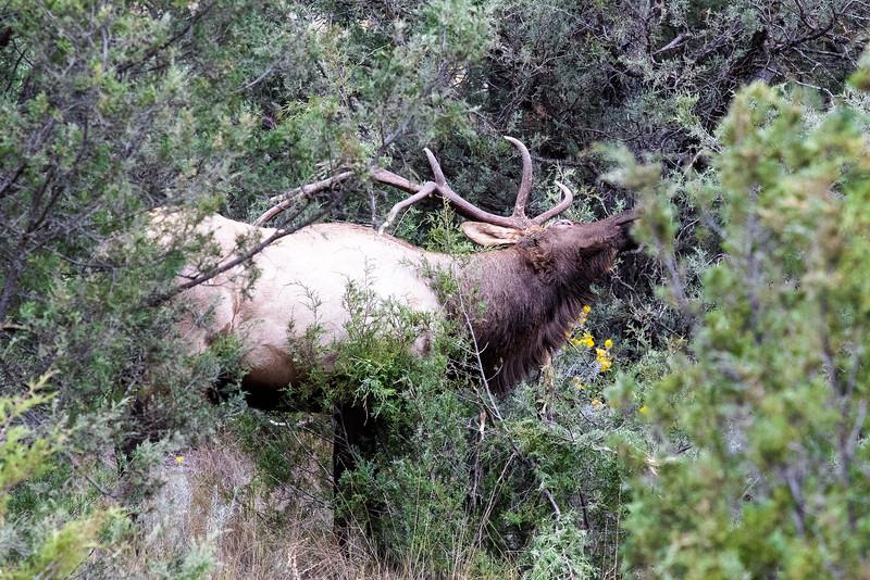 Montana - Rocky Mountain Elk - Bull Elk Thrashing (1 of 1)-1