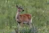 White-tailed Deer - Montana-8008