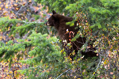 Montana - American Black Bear - Cub  (1 of 1)-8