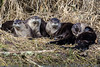 RIVER  OTTERS  - 10,541 Views
