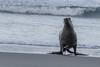 New Zealand - South Island - Otago - Hooker Sea Lion coming on shore