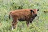 Bison Calf - Montana-7980