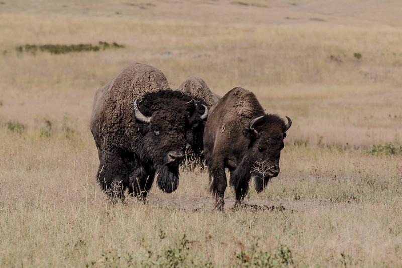 Montana - Nat'l  Bison Range - Bison - Rut Season - Interested suitor,  not so sure interest-