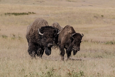 Montana - Nat'l  Bison Range - Bison - Rut Season - Interested suitor,  not so sure interest-