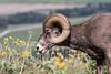 Big Horn Ram - Montana-4350