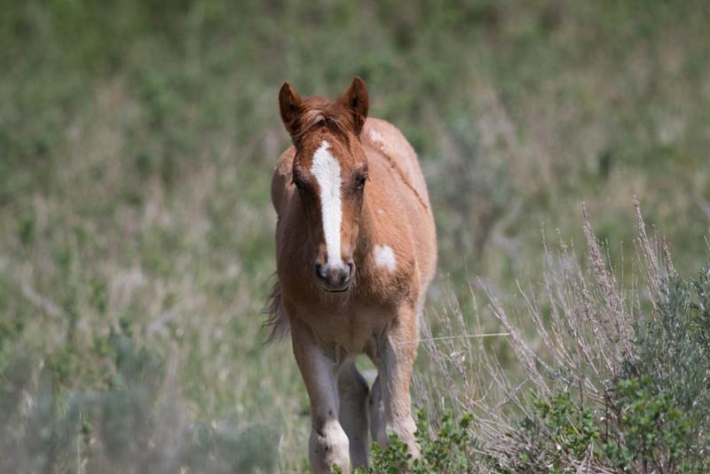 Wild Horse - Theodore Roosevelt National Park - ND-7917