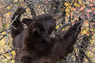 Montana - American black Bear (1 of 1)-2-1