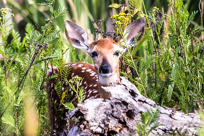 WHITE-TAILED DEER FAWN      LEE METCALF  WILDLIFE REFUGE   MONTANA
