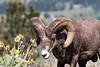 Big Horn Ram - Montana-4348