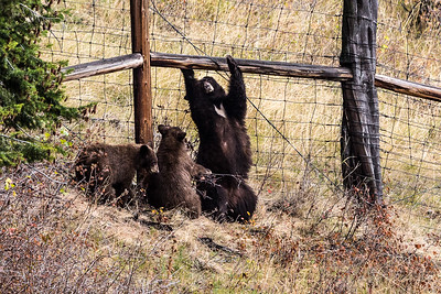 Montana - American Black Bear - Mother with two cubs (1 of 1)-2-16