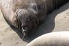 Elephant Seal - Piedras Blancas, California