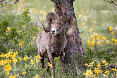 Big Horn Ram- Montana-8472